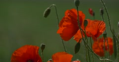Red Poppies, Papaver, Flowers, Petals and Buds Stock Footage