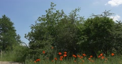 Poppies, Papaver, Flowers on the Field, Grove, Blue Sky Stock Footage