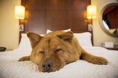 Dog sleeping in hotel room Stock Photos