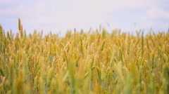 Top wheat spikes, blurred background, small depth of field, defocused Stock Footage