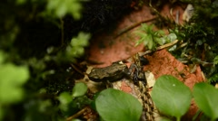 Small frog hopping Stock Footage