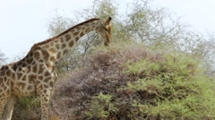 Giraffa camelopardalis grazing on tree - stock footage