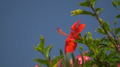 Amaryllis Flower in Calvi, Corsica Stock Footage
