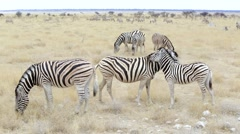 Burchell's zebra with foal nibbling fur Stock Footage