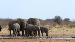 Herd of African elephants drinking at a muddy waterhole Stock Footage