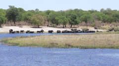 Herd of African elephants drinking from river Stock Footage