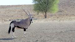 Portrait of Gemsbok, Oryx gazella Stock Footage