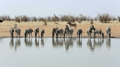 Zebra drinking on waterhole Stock Footage