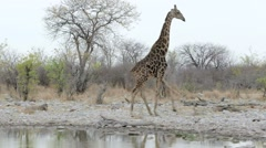 Giraffa camelopardalis drinking from waterhole in Etosha national Park - stock footage