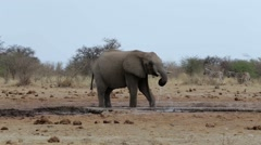 African elephants drinking at a muddy waterhole Stock Footage