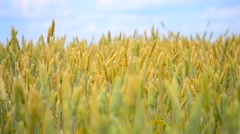 Wheatfield summer, autumn Stock Footage
