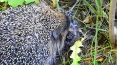 Hedgehog eating a bird in the wild in natural environment Stock Footage