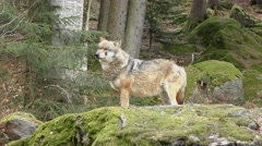 4K footage of a Gray (or Grey) Wolf (Canis lupus) - stock footage
