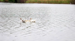 Domestic geese swimming in the pond Stock Footage