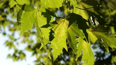The foliage of a tree Stock Footage