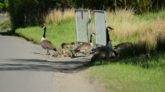 Canada Geese Gaggle with Goslings at  Roadside #2 - stock footage