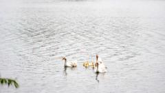Geese  in the pond Stock Footage