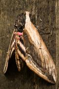 Hawk Moth on wood background close up - stock photo