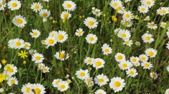 Field chamomiles background - stock footage
