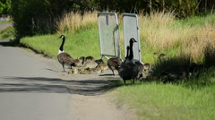 Canada Geese Gaggle with Goslings at  Roadside #1 Stock Footage