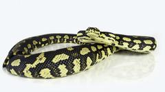 A jungle carpet python (Morelia spilota cheynei), coiled on a white backgroun Stock Photos
