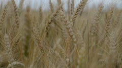 Wheatfield, the ripe grain Stock Footage
