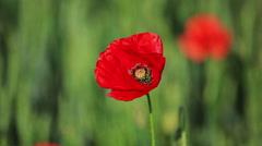 Red poppy in field - stock footage