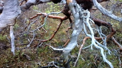 Wild very ancient long-dead tree forest Stock Footage
