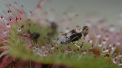 Insect was captured by carnivourus plant (Drosera sp.). The pedicels are sticky. Stock Footage
