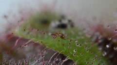 Carnivourus plant (Drosera sp.) captures an ant. The pedicels are sticky. Stock Footage