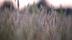 HD1080p Stock - Nice field of wheat Stock Footage
