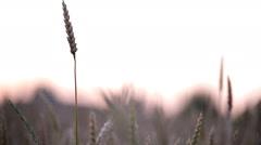 HD1080p Stock - Field of Wheat at sundown - stock footage