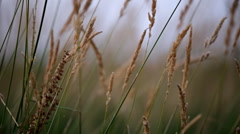 HD1080p Stock - Field of Wheat med close up Stock Footage