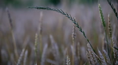 HD1080p Stock - Field of Wheat at dusk, nice color Stock Footage