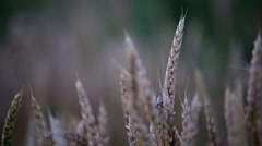 HD1080p Stock - Field of Wheat close up, nice color Stock Footage