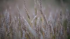 HD1080p Stock - Field of Wheat open - stock footage