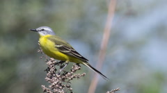 Male Yellow wagtail (Wagtail Motacilla flava) sitting on a branch Stock Footage