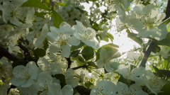White Flowering Tree at Springtime in New England Stock Footage