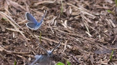 The blue butterfly sitting on the ground. - stock footage