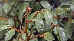 Hummingbird Green-throated carib (Eulampis holosericeus) slow motion. Stock Footage