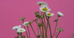 White Field Flowers, Wild Flowers, Chamomile Stock Footage