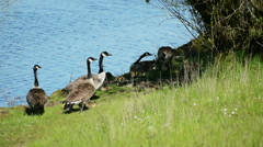 Canada Geese and Goslings #1 - stock footage