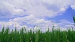 Field of winter wheat Stock Footage