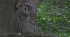 Sleeping Gray Verreaux's Eagle-Owl, Turn The Head Stock Footage