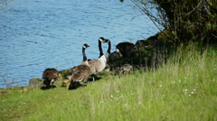 Caanada Geese and Goslings #3 Stock Footage