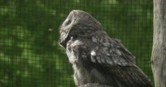 Great Grey Owl, Bird, Cage Grate, Fly Away Arkistovideo