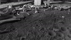 Black and white footage of interior of an abandoned barn showing cow bones  - stock footage