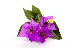 Sprig of Mauve Bougainvillea Flowers and Green Leaves Stock Photos