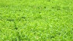 Green bush - closeup Stock Footage