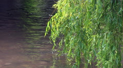 Willow Tree Leaves and Flowing River Water Stock Footage